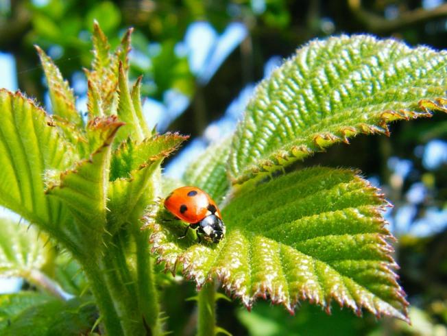 Jersey Ladybug Or (Ladybird)