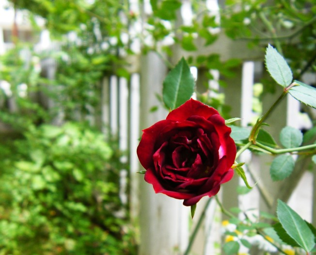 Mother's Day Rose 2009