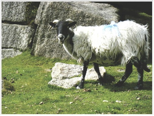 Toothy Sheep