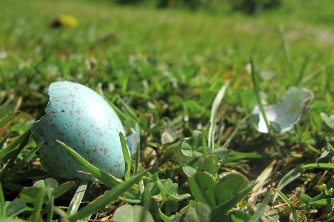 Blackbird Egg - Elizabeth Harper