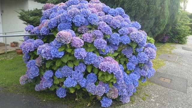 Purple Hydrangea Bush, UK
