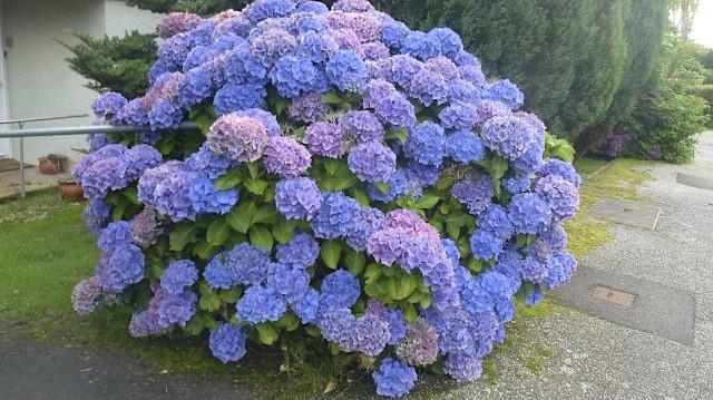 Purple Hydrangea Bush, UK